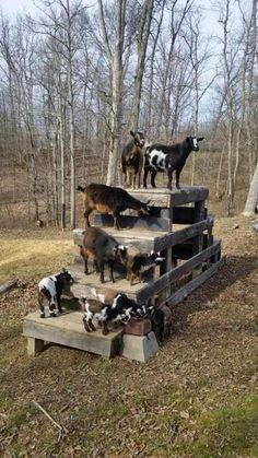DIY toys for goats to keep them busy - house decorations - DIY goat toys to keep them busy - Goat Playground, Playground Ideas, Goat Shelter, Goat Pen, Goat Care, Raising Goats, Keeping Goats, Raising Farm Animals, Nigerian Dwarf Goats