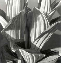 Botanic Photo by Karl Blossfeldt / Shape, texture, ditale Karl Blossfeldt, Grete Stern, Diane Arbus, Straight Photography, Fine Art Photography, Light Photography, Dramatic Photography, Timeless Photography, Shadow Photography