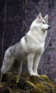 Looks like a malamute, husky, wolf hybrid. I want this dog so bad!!!