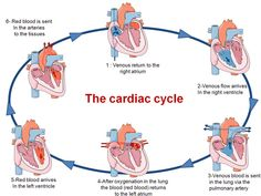 The cardiac cycle is the performance of the heart from the ending of one heartbeat to the beginning of the next. The cardiac cycle comprises a complete relaxation and contraction of both atria and ventricles, and lasts approximately seconds. Cardiac Nursing, Nursing Mnemonics, Cardiac Cycle, Nursing School Notes, Respiratory Therapy, Human Anatomy And Physiology, Medical Anatomy, Bulletins, Nursing Students
