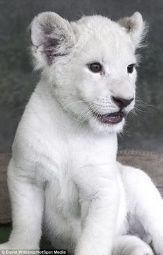 White lions have been hunted and forcibly removed from their habitat since 1938 Baby Animals Super Cute, Cute Funny Animals, Cute Cats, Kittens Cutest, Cats And Kittens, Big Cats, Ragdoll Kittens, Tabby Cats, Funny Kittens