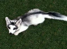 Canadian Marble Fox - Imgur (3 more pictures in the album)