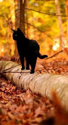autumndreaming: Need a little NOW. Kthxbye-- This is a beautiful black cat walking along a fallen tree log. The autumn background with the black cat, gives this photo a real Halloween feel. Beautiful Cats, Animals Beautiful, Cute Animals, Beautiful Pictures, Crazy Cat Lady, Crazy Cats, I Love Cats, Cute Cats, Funny Cats
