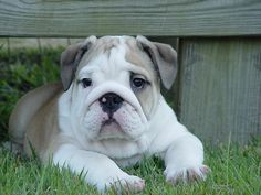 Boris ❤ English Bulldog puppy
