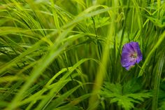 geranium rozanne and anementale  1735 by sweber4507, via Flickr
