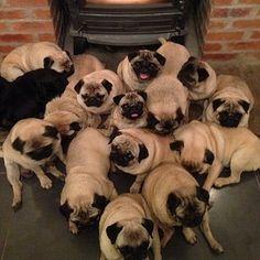 Pug Family photo.
