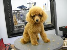 Miniature Poodle Grooming | ... Poodle Forum - Standard Poodle, Toy Poodle, Miniature Poodle Forum ALL