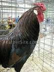 Dark Brown Leghorn cock- eb-base, white egg (single comb, not as pictured) Ideal Poultry waiting list for 2016