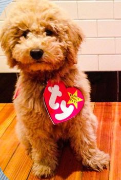 A Real Beanie Baby – my goldendoodle on Halloween – You Bet Your Pierogi Baby Dog Costume, Beanie Baby Costumes, Diy Baby Costumes, Pet Costumes, Bear Costume, Costume Ideas, Puppy Halloween Costumes, Halloween Bebes, Family Halloween