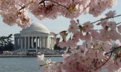 The Jefferson Memorial peeks through the cherry blossoms, Washington DC's springtime signature. .....visit the national mall!