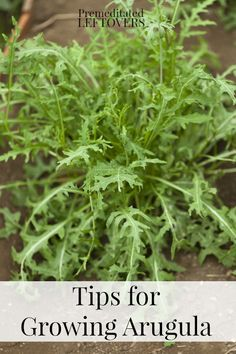 Tips for Growing Arugula in Your Garden - How to grow arugula from seed, how to transplant arugula seedlings, when and how to harvest arugula plants.