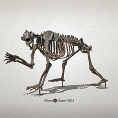 Short-faced Bear Articulated Quadruped Skeleton - Bone Clones, Inc. - Osteological Reproductions