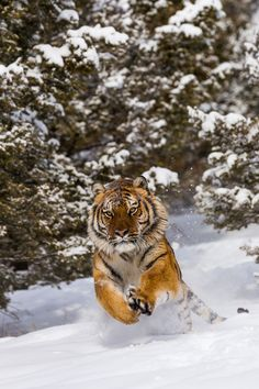 Tiger jumping in snow (panthera tigris) by Christophe JOBIC on 500px