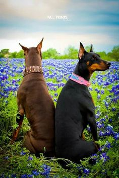 "Click visit site and Check out Best ""Dobermann"" Shirts. This website is outstanding. Tip: You can search ""your name"" or ""your favorite shirts"" at search bar on the top."