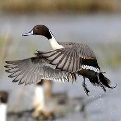 Northern Pintail male