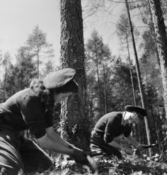 Lumber Jills using a double saw to cut down a tree as part of their training at the Women's Land Army camp in Culford, Suffolk in 1943. -- Imperial War Museum Prints
