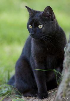 """If a black cat crosses your path, it signifies that he is going somewhere. Pretty Cats, Beautiful Cats, Animals Beautiful, Cute Animals, Simply Beautiful, Cute Kittens, Cats And Kittens, Amor Animal, Mundo Animal"