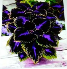 Coleus plant care and propagation is relatively easy compared to other plants. The plant is not only beautiful but also easy to maintain. Coleus has. Container Plants, Container Gardening, Container Flowers, Herb Gardening, Organic Gardening, Gardening Quotes, Gardening Hacks, Gardening Vegetables, Flower Gardening