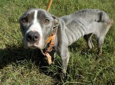"""10/7/16 An emaciated dog, weighing just 27 pounds, was recently found in St. Georges, Delaware. The skeletal dog, dubbed """"Miracle,"""" was found after being left on the side on October 3. On Thursday, the Delaware Division of Public Health – DPH issued a request to the public for help in finding out who is responsible for the dog's pitiful …"""