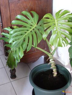 Philodendron Monstera déliciosa