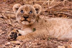 Cute lion cub looking up ...  Zambia, adorable, africa, animal, baby, beautiful, big, carnivore, cat, close, closeup, conservation, cub, cuddly, cute, expression, eyes, feline, fur, furry, golden, kitten, kruger, leo, lion, male, mammal, national, nature, park, pose, predator, safari, savannah, small, south luangwa, tourism, wild, wildlife, young
