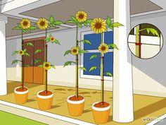 Como Cultivar um Girassol em um Vaso