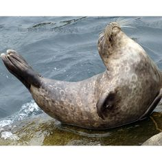 Seal a posing for me. ($34) ❤ liked on Polyvore featuring home and home decor