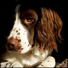 Dreaming of escape - flying away on a Springer Spaniel's ears.... 'The Manor Children's Home' - a Short Story by Bob Le Vaillant. bob@levaillantowen.com
