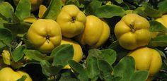 Gutui Archives - Blog Botanistii Stuffed Peppers, Apple, Fruit, Vegetables, Blog, Apple Fruit, Stuffed Pepper, Vegetable Recipes, Blogging