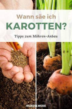 Der komplette Karotten-Guide: Pflanzen, Anbauen und Ernten - Möhren selber anbauen? Kein Problem! In diesem Artikel erfährst du alles zum Thema Standort, Pflege, Düngung und Bewässerung. Von der Aussat bis zur Ernte. Wie immer bekommst du auch Sortenvorschläge! Wie muss ich vorgehen, um eine reiche Ernte zu bekommen? #Karotten #Selbstversorger #Wurzelwerk Beans, Vegetables, Food, Clay Soil, Crop Rotation, Mulches, Farmhouse Garden, Nth Root, Beans Recipes