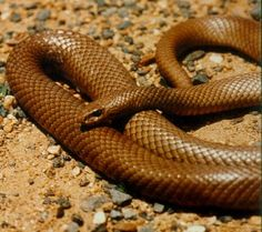 Australian Eastern Brown Snake.