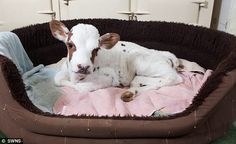 This calf looks comfy in the dog bed.