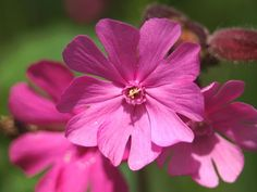 APHOTOFLORA - Photographic Stock Image Library Page for Silene dioica - Red Campion (Caryophyllaceae Images). Strange Flowers, Rare Flowers, Exotic Flowers, Pink Flowers, British Wild Flowers, Flower Close Up, Seed Bank, Grain Of Sand, Botanical Gardens