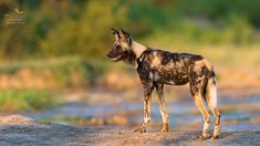 African wild dogs are one of the endangered species. Fun fact about them is unlike other dogs, they only have four toes on each feet.  _ _ _ _ _ _ _ _ _ _ _ _ _ _ _ _ _ _ _ _ _ _ 📷- @brendoncremer 📍- @elephantplainsgamelodge 🌍- Sabi Sand Wildtuin, South Africa  _ _ _ _ _ _ _ _ _ _ _ _ _ _ _ _ _ _ _ _ _ _ _ African Wild Dog, Wild Dogs, Endangered Species, South Africa, Fun Facts, Posts, Animals, Messages, Animales