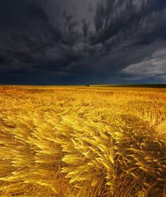 '' Storm clouds brewing over a wheat field (via Katherine Bond) '' # Beautiful nature photography # All Nature, Amazing Nature, Flowers Nature, Beautiful World, Beautiful Places, Beautiful Boys, Beautiful Flowers, Landscape Photography, Nature Photography