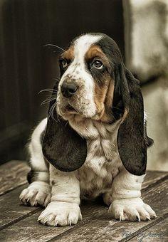 "BASSET HOUND chillypepperhothothot: "" Il-Bassotto poliziotto… by Accursio Castrogiovanni "" Basset Puppies, Hound Puppies, Basset Hound Puppy, Cute Puppies, Dogs And Puppies, Pet Dogs, Dog Cat, Pets, Doggies"