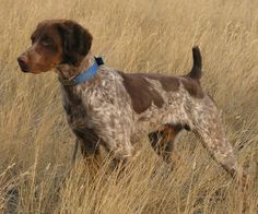Liver and Roan Brittany. Beautiful.