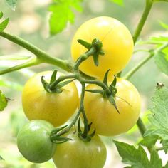 Tomato 'Super Snow White'  A large cherry tomato that keeps producing and producing and producing, 'Super Snow White' bears clusters of pale yellow fruits that resist cracking and are known for their exceptionally sweet flavor. It is an indeterminate variety that ripens about 75 days from transplanting.