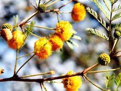 Acacia Farnesiana flowers - Read more http://easyayurveda.com/2016/05/04/irimeda-arimeda-acacia-farnesiana/