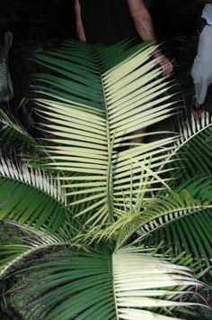 Variegated Majesty Palm, Ravenea rivularis