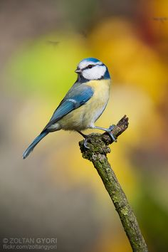 Resultado de imagem para blue tit showing back Small Birds, Little Birds, Colorful Birds, Bird Pictures, Pictures To Paint, Pretty Birds, Beautiful Birds, Wildlife Photography, Animal Photography