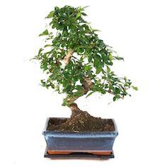 Bonsai.de Shop, Werkzeug, Erdwerkzeug, [2405] Erdschaufel (245 Mm ... Ficus Ginseng Bonsai Einpflanzen Tipps