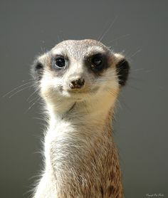 This goofy face belongs to a meerkat