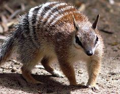 Numbats are carnivorous and feed on termites with their long, sticky tongues. They have one litter per year   and shelter in hollow tree logs.