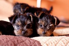 Teacup Yorkies! Ii want one for the apartment next semester!!
