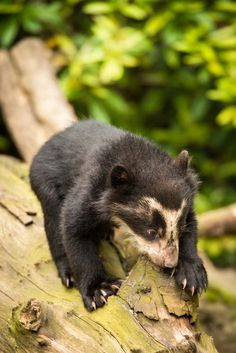 A Spectacled Bear cub, born recently at Zoo Antwerpen in Belgium, ventured outside, into its enclosure for the first time. Bear Cubs, Koala Bears, Grizzly Bears, Tiger Cubs, Tiger Tiger, Bengal Tiger, Baby Animals, Cute Animals, Wild Animals