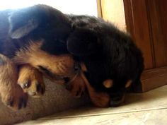 OMG SO SO SO CUTE!!!  Rottweiler puppies singing while sleeping