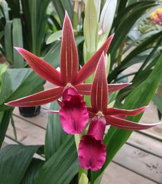 Nun's Orchid Flower: Phaius tankervilleae 'Rabin's Raven'