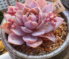 Nieuwe nieuwe Home Garden Plant 5 Sedum Suaveolens succulente zaden