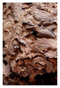 Wasps nest... Spirals In Nature, Wasp Nest, Bees And Wasps, Zoology, Natural Wonders, Textures Patterns, Beautiful Things, Brownies, Bugs